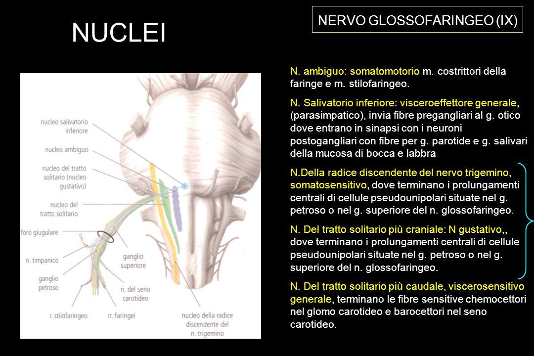NERVO GLOSSOFARINGEO (IX) N.ambiguo: somatomotorio m.