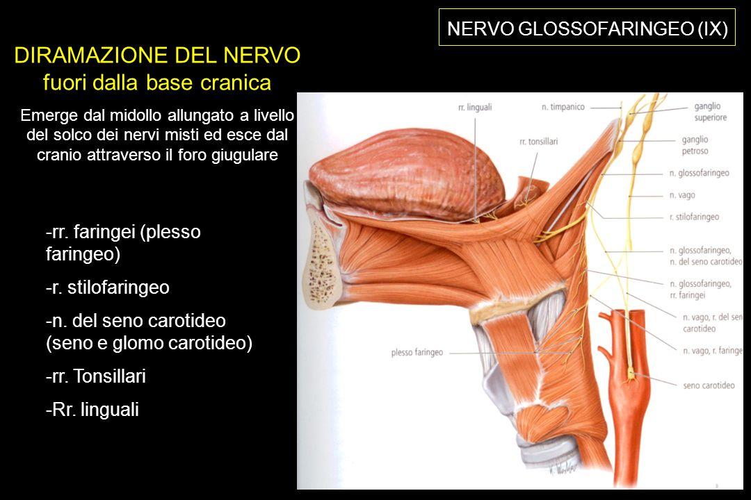 NERVO GLOSSOFARINGEO (IX) DIRAMAZIONE DEL NERVO fuori dalla base cranica Emerge dal midollo allungato a livello del solco dei nervi misti ed esce dal cranio attraverso il foro giugulare -rr.