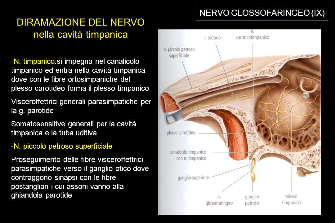 NERVO GLOSSOFARINGEO (IX) DIRAMAZIONE DEL NERVO nella cavità timpanica -N.