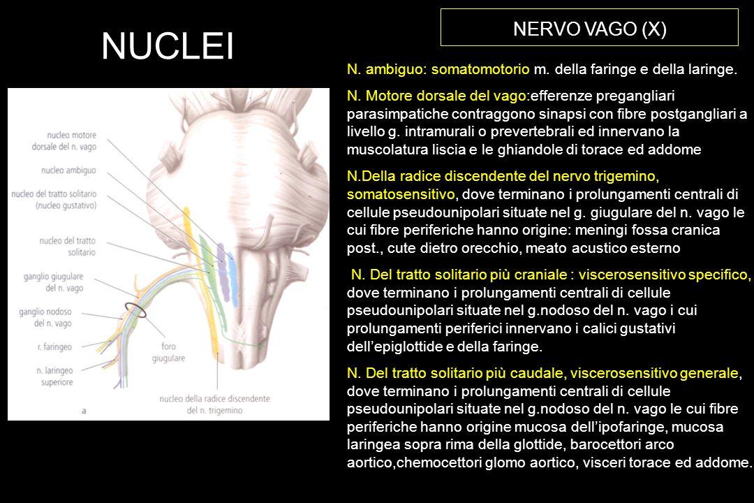 NERVO VAGO (X) N.ambiguo: somatomotorio m. della faringe e della laringe.