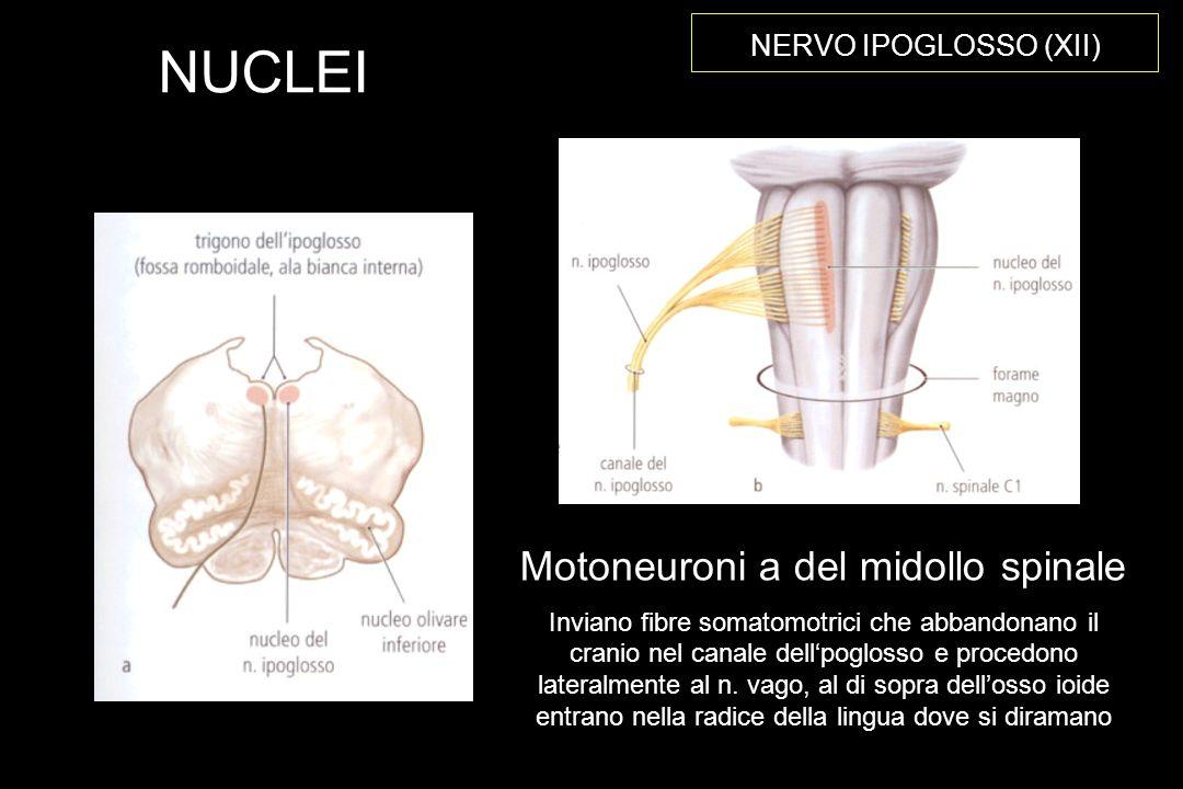 NERVO IPOGLOSSO (XII) NUCLEI Motoneuroni a del midollo spinale Inviano fibre somatomotrici che abbandonano il cranio nel canale dellpoglosso e procedono lateralmente al n.