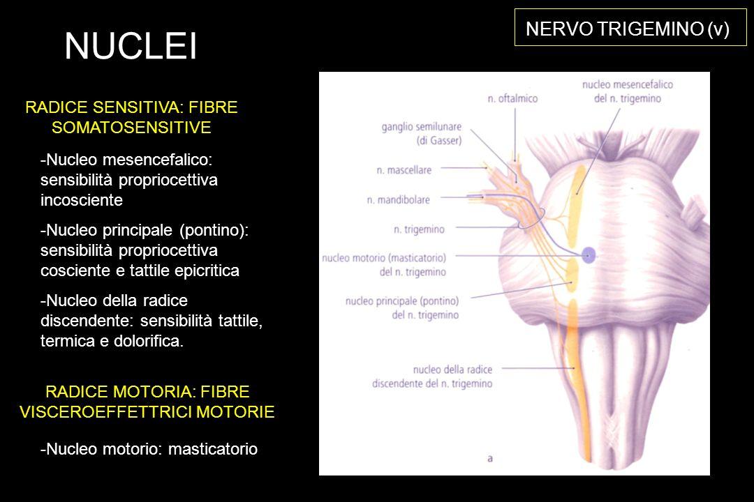 NERVO TRIGEMINO (v) -Nucleo mesencefalico: sensibilità propriocettiva incosciente -Nucleo principale (pontino): sensibilità propriocettiva cosciente e tattile epicritica -Nucleo della radice discendente: sensibilità tattile, termica e dolorifica.