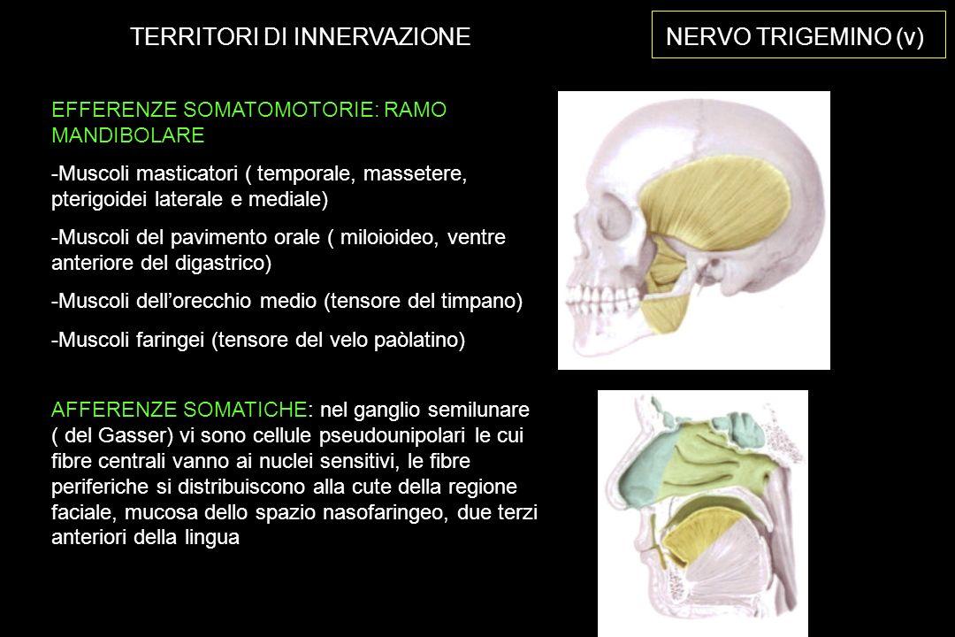 EFFERENZE SOMATOMOTORIE: RAMO MANDIBOLARE -Muscoli masticatori ( temporale, massetere, pterigoidei laterale e mediale) -Muscoli del pavimento orale ( miloioideo, ventre anteriore del digastrico) -Muscoli dellorecchio medio (tensore del timpano) -Muscoli faringei (tensore del velo paòlatino) NERVO TRIGEMINO (v) AFFERENZE SOMATICHE: nel ganglio semilunare ( del Gasser) vi sono cellule pseudounipolari le cui fibre centrali vanno ai nuclei sensitivi, le fibre periferiche si distribuiscono alla cute della regione faciale, mucosa dello spazio nasofaringeo, due terzi anteriori della lingua TERRITORI DI INNERVAZIONE
