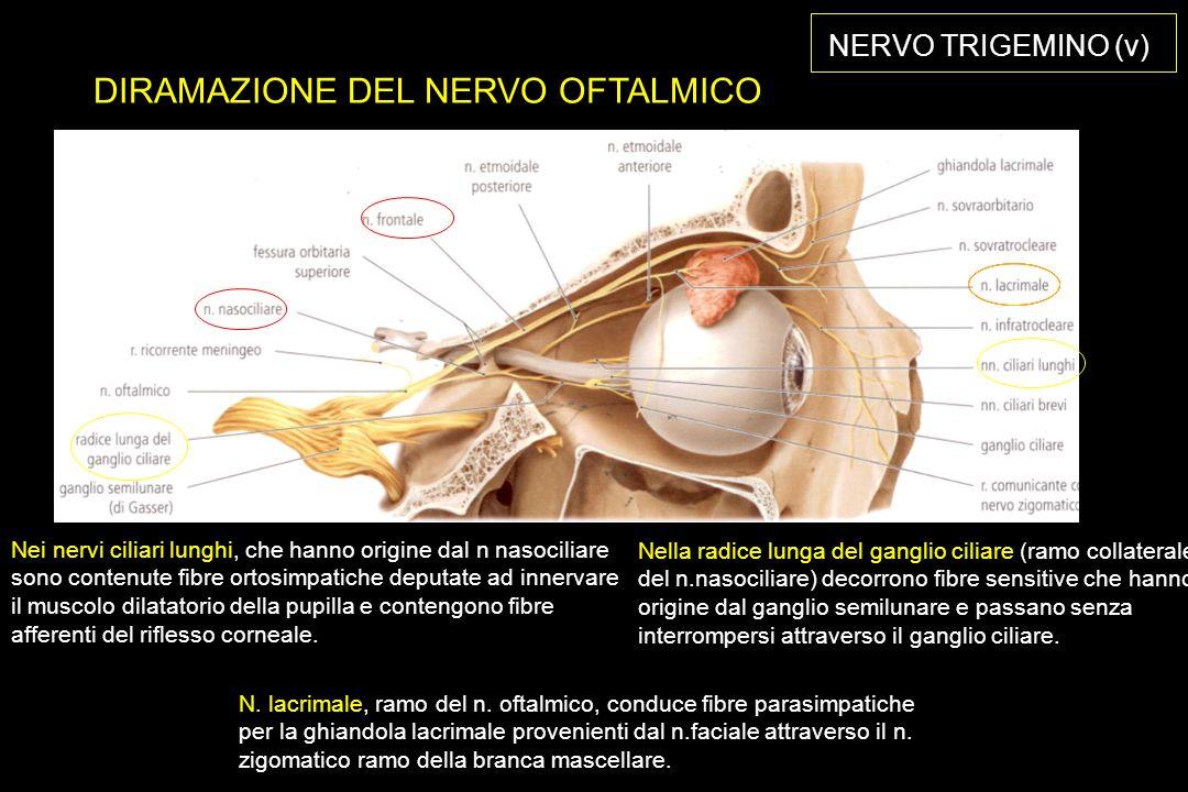DIRAMAZIONE DEL NERVO OFTALMICO Nella radice lunga del ganglio ciliare (ramo collaterale del n.nasociliare) decorrono fibre sensitive che hanno origine dal ganglio semilunare e passano senza interrompersi attraverso il ganglio ciliare.