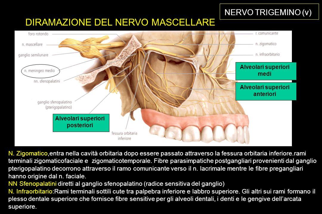 NERVO TRIGEMINO (v) DIRAMAZIONE DEL NERVO MASCELLARE N.