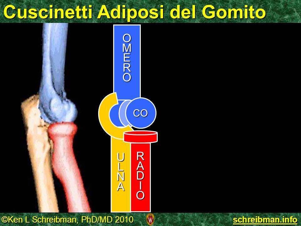 ©Ken L Schreibman, PhD/MD 2010 schreibman.info Cuscinetti Adiposi del Gomito OMERO ULNA CO RADIO