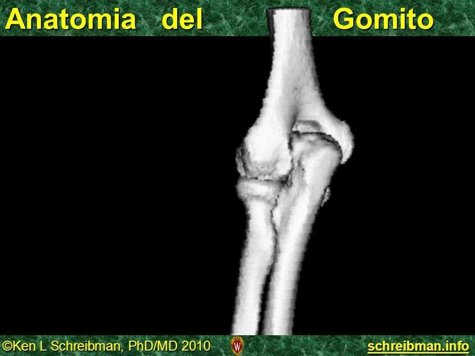 ©Ken L Schreibman, PhD/MD 2010 schreibman.info Anatomia del Gomito