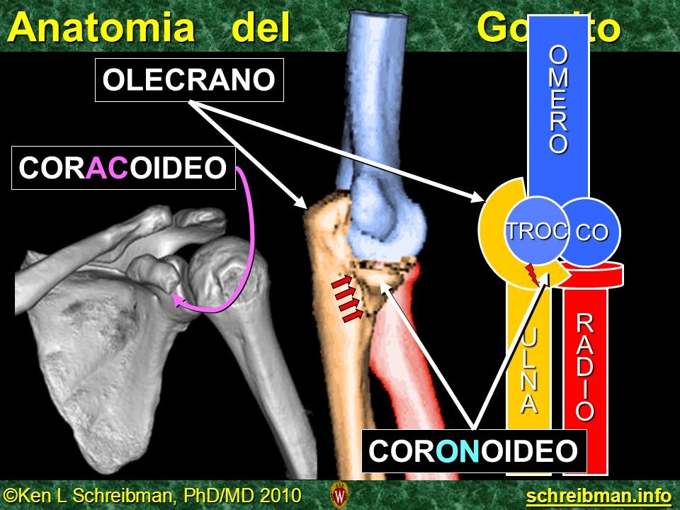 ©Ken L Schreibman, PhD/MD 2010 schreibman.info Anatomia del Gomito OMERO RADIO CO ULNA TROC OLECRANO CORONOIDEO ON CORACOIDEO