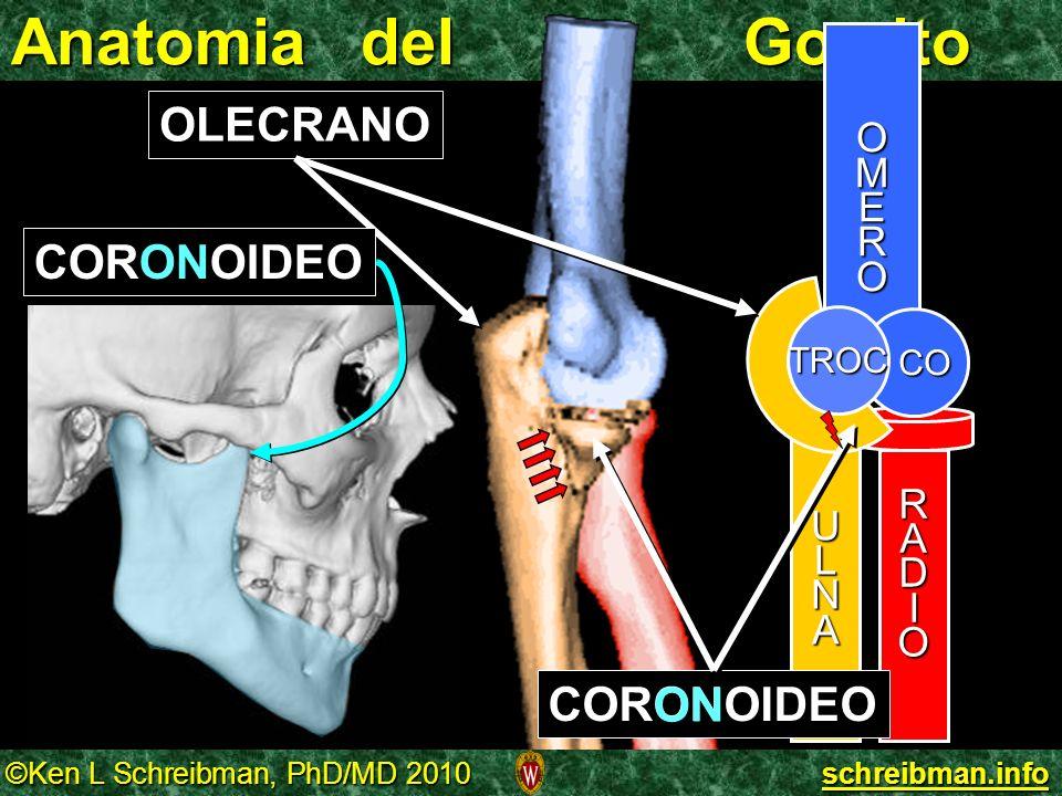 ©Ken L Schreibman, PhD/MD 2010 schreibman.info Anatomia del Gomito OMERO RADIO CO ULNA TROC OLECRANO CORONOIDEO ON CORONOIDEO