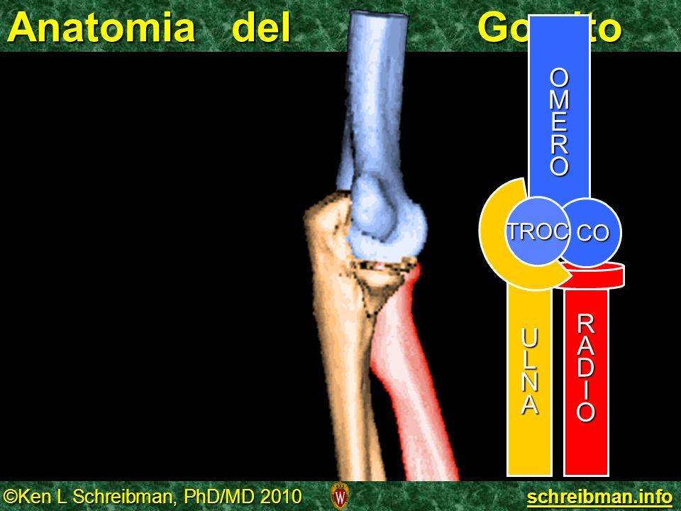 ©Ken L Schreibman, PhD/MD 2010 schreibman.info Anatomia del Gomito OMERO RADIO CO ULNA TROC