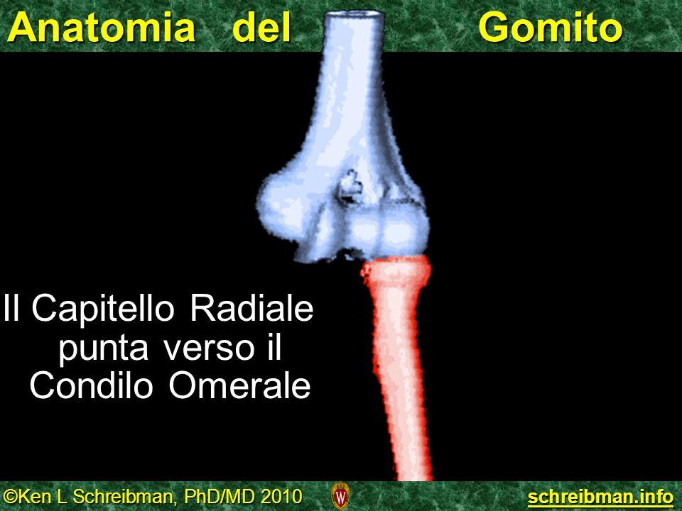 ©Ken L Schreibman, PhD/MD 2010 schreibman.info Anatomia del Gomito Il Capitello Radiale punta verso il Condilo Omerale Il Capitello Radiale punta vers
