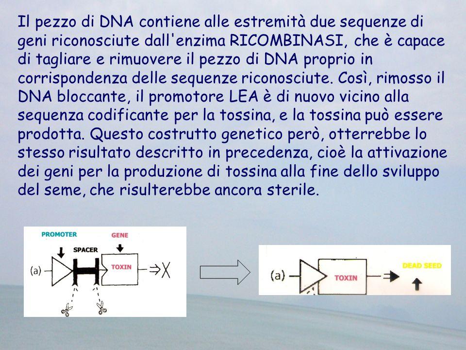 Il pezzo di DNA contiene alle estremità due sequenze di geni riconosciute dall'enzima RICOMBINASI, che è capace di tagliare e rimuovere il pezzo di DN
