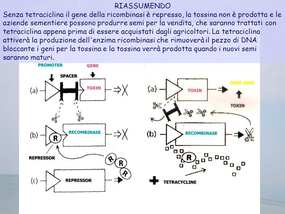 RIASSUMENDO Senza tetraciclina il gene della ricombinasi è represso, la tossina non è prodotta e le aziende sementiere possono produrre semi per la ve