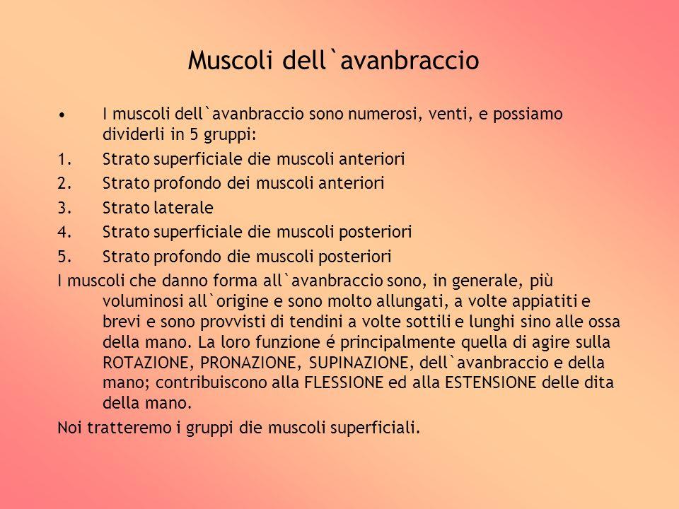 Muscoli dell`avanbraccio I muscoli dell`avanbraccio sono numerosi, venti, e possiamo dividerli in 5 gruppi: 1.Strato superficiale die muscoli anterior