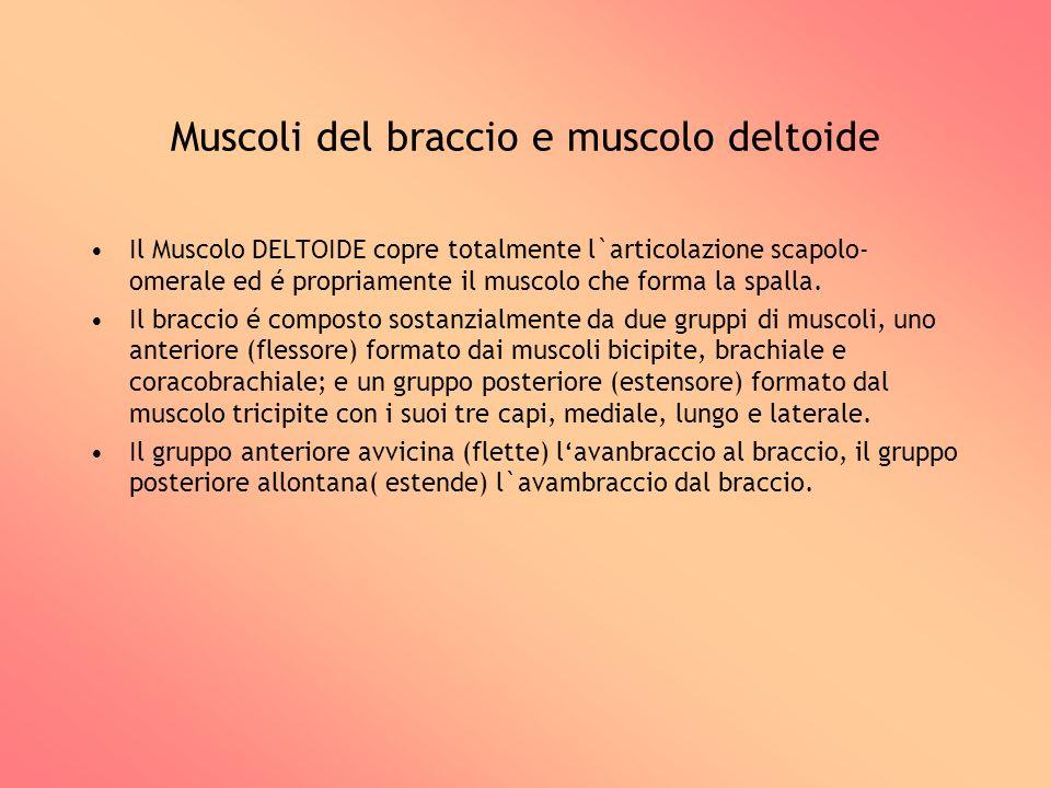 Muscoli del braccio e muscolo deltoide Il Muscolo DELTOIDE copre totalmente l`articolazione scapolo- omerale ed é propriamente il muscolo che forma la