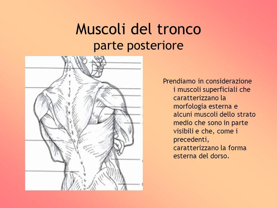 Muscoli del tronco parte posteriore Prendiamo in considerazione i muscoli superficiali che caratterizzano la morfologia esterna e alcuni muscoli dello