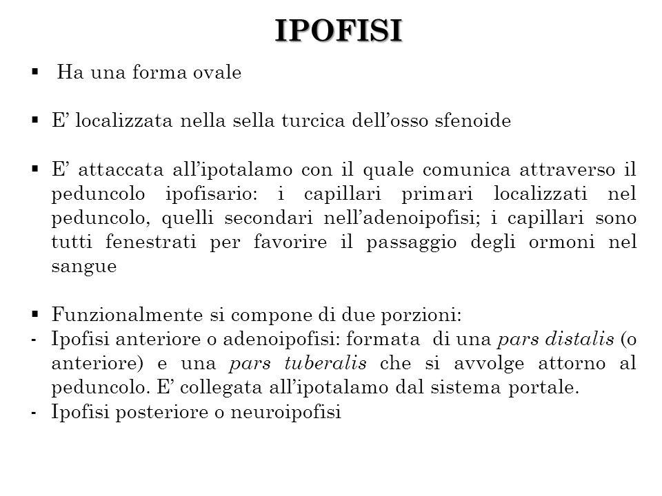 IPOFISI Ha una forma ovale E localizzata nella sella turcica dellosso sfenoide E attaccata allipotalamo con il quale comunica attraverso il peduncolo