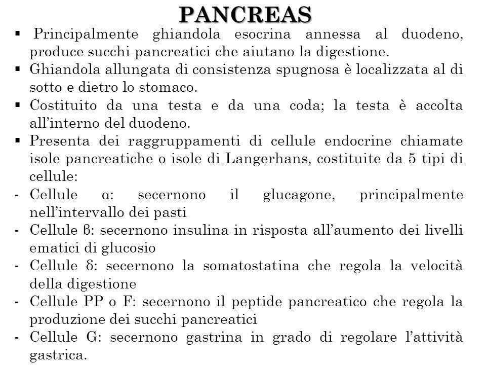 PANCREAS Principalmente ghiandola esocrina annessa al duodeno, produce succhi pancreatici che aiutano la digestione. Ghiandola allungata di consistenz