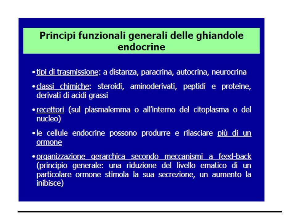 PANCREAS Principalmente ghiandola esocrina annessa al duodeno, produce succhi pancreatici che aiutano la digestione.