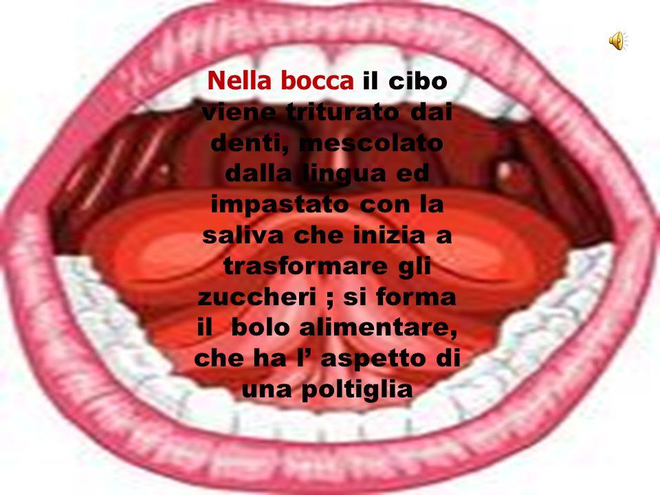 Nella bocca il cibo viene triturato dai denti, mescolato dalla lingua ed impastato con la saliva che inizia a trasformare gli zuccheri ; si forma il b