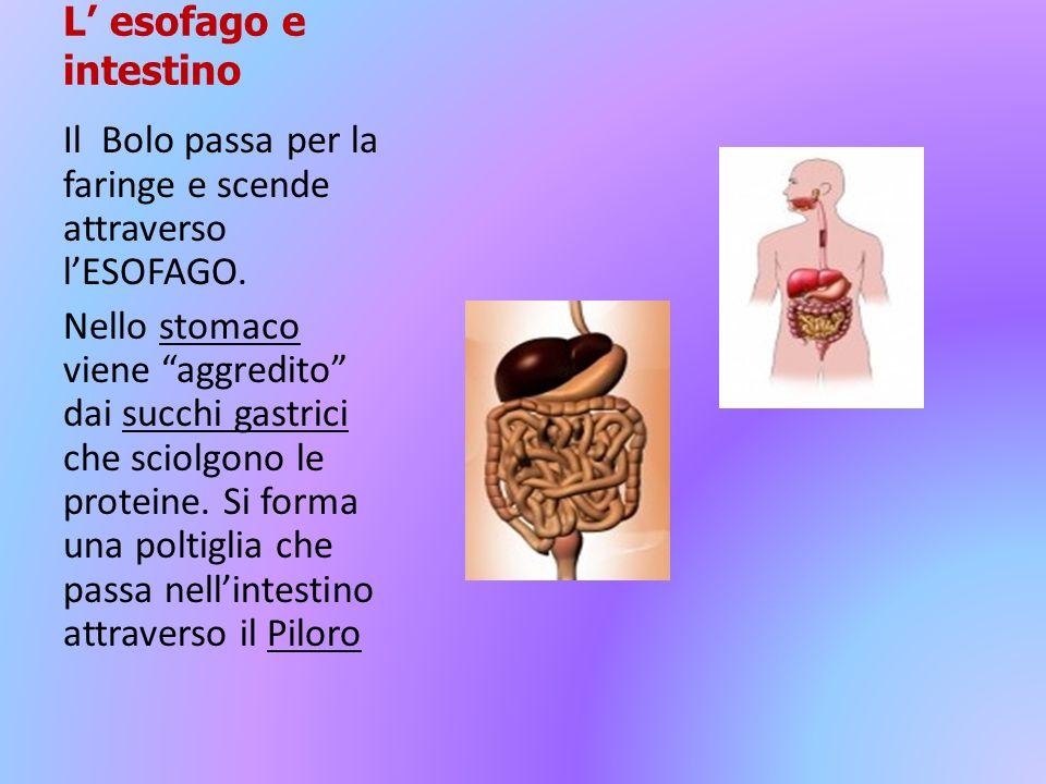 L esofago e intestino Il Bolo passa per la faringe e scende attraverso lESOFAGO. Nello stomaco viene aggredito dai succhi gastrici che sciolgono le pr