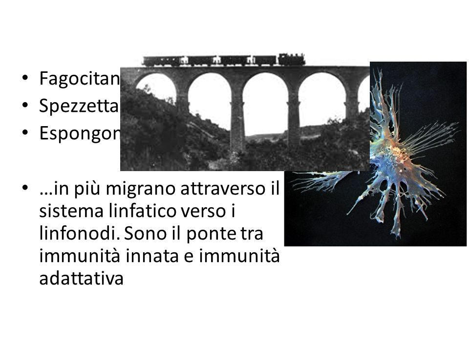 Cellule dendritiche Fagocitano Spezzettano Espongono …in più migrano attraverso il sistema linfatico verso i linfonodi.