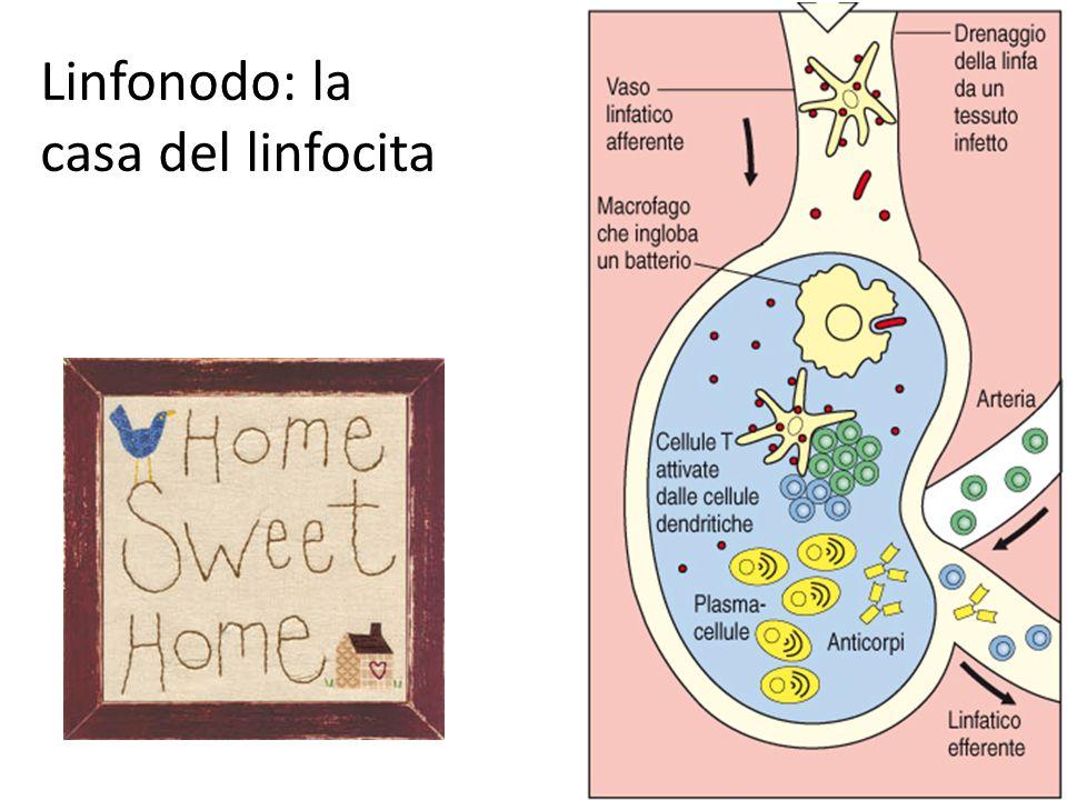 Linfonodo: la casa del linfocita