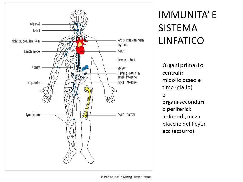 Organi primari o centrali: midollo osseo e timo (giallo) e organi secondari o periferici: linfonodi, milza placche del Peyer, ecc (azzurro).