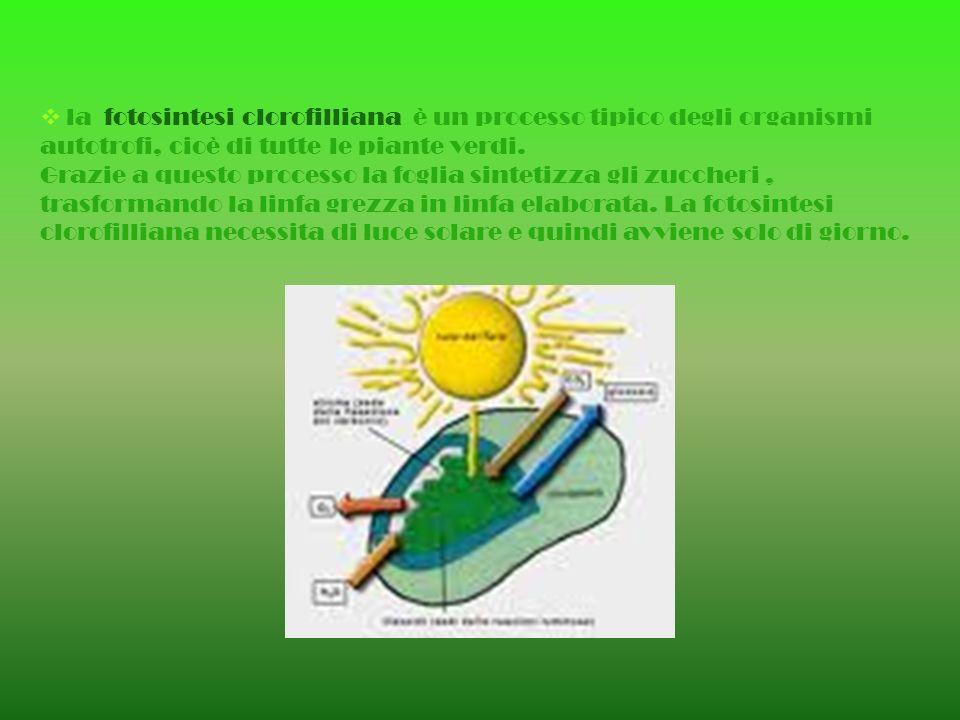 la fotosintesi clorofilliana è un processo tipico degli organismi autotrofi, cioè di tutte le piante verdi. Grazie a questo processo la foglia sinteti