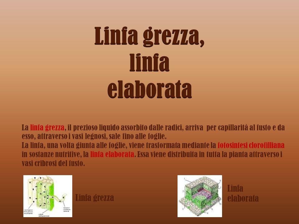 La linfa grezza, il prezioso liquido assorbito dalle radici, arriva per capillarità al fusto e da esso, attraverso i vasi legnosi, sale fino alle fogl