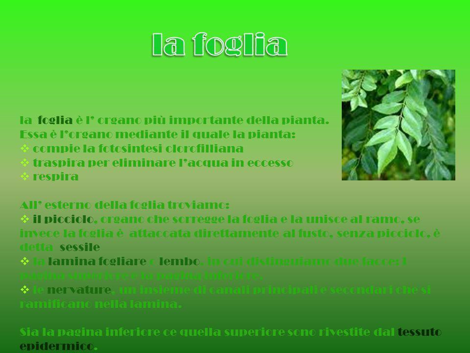 la foglia è l organo più importante della pianta. Essa è lorgano mediante il quale la pianta: compie la fotosintesi clorofilliana traspira per elimina