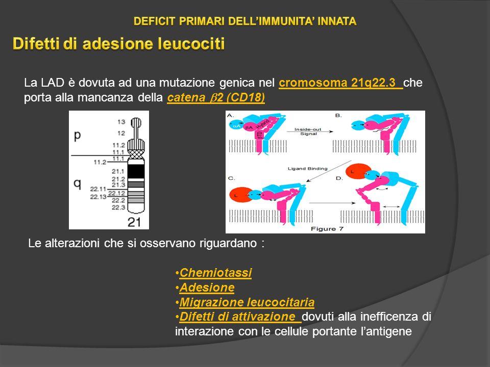 La LAD è dovuta ad una mutazione genica nel cromosoma 21q22.3 che porta alla mancanza della catena 2 (CD18) Le alterazioni che si osservano riguardano : Chemiotassi Adesione Migrazione leucocitaria Difetti di attivazione dovuti alla inefficenza di interazione con le cellule portante lantigene