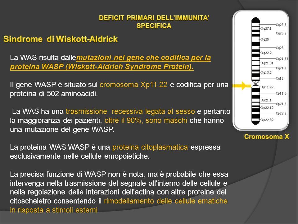 La WAS risulta dallemutazioni nel gene che codifica per la proteina WASP (Wiskott-Aldrich Syndrome Protein).