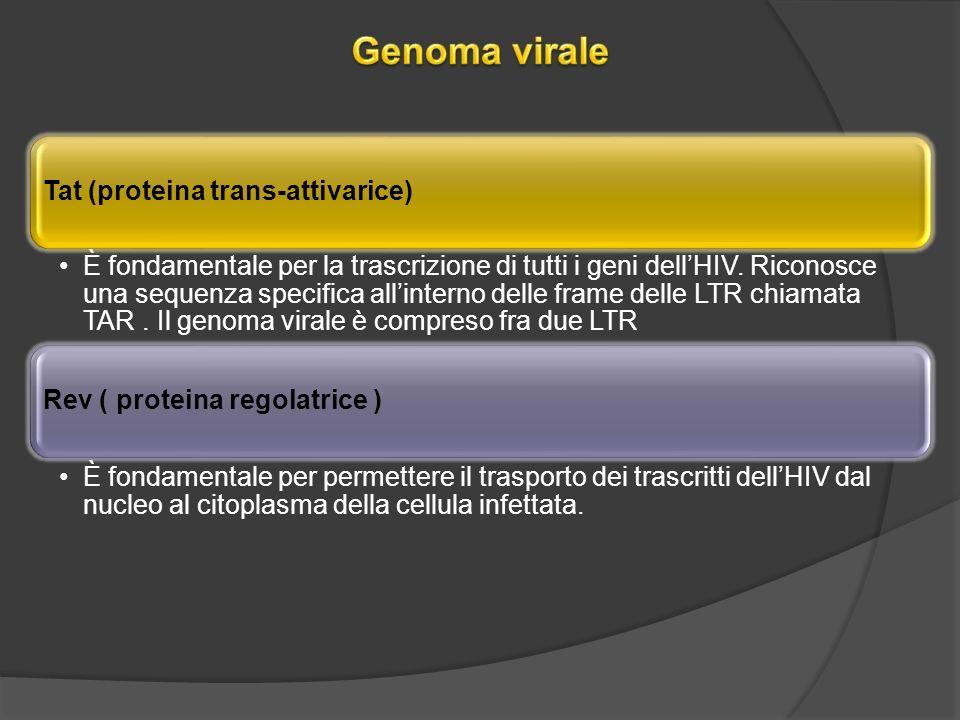 Tat (proteina trans-attivarice) È fondamentale per la trascrizione di tutti i geni dellHIV.