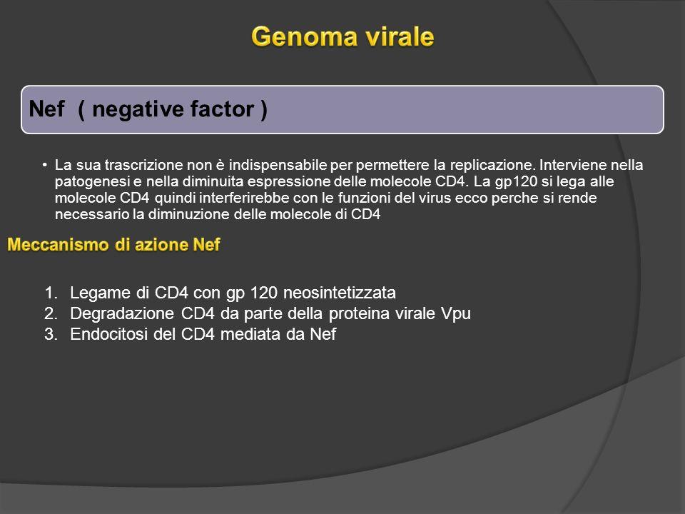 Nef ( negative factor ) La sua trascrizione non è indispensabile per permettere la replicazione.