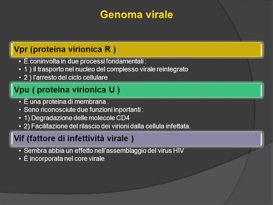 Vpr (proteina virionica R ) È coninvolta in due processi fondamentali : 1 ) il trasporto nel nucleo del complesso virale reintegrato 2 ) larresto del ciclo cellulare Vpu ( proteina virionica U ) È una proteina di membrana.
