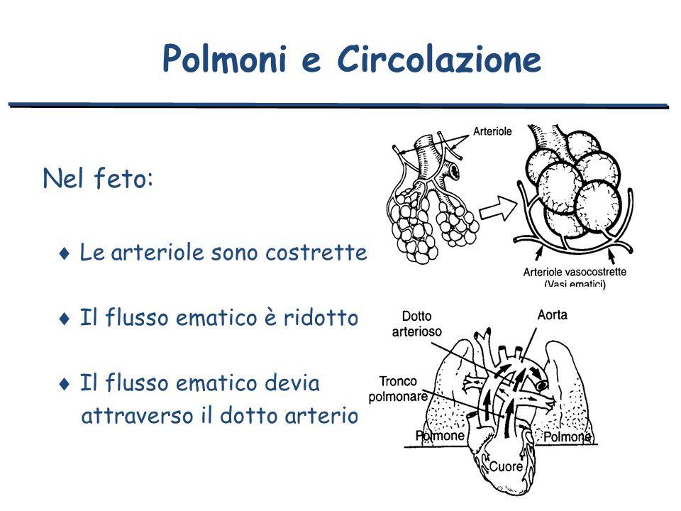 Nel feto: Le arteriole sono costrette Il flusso ematico è ridotto Il flusso ematico devia attraverso il dotto arterioso