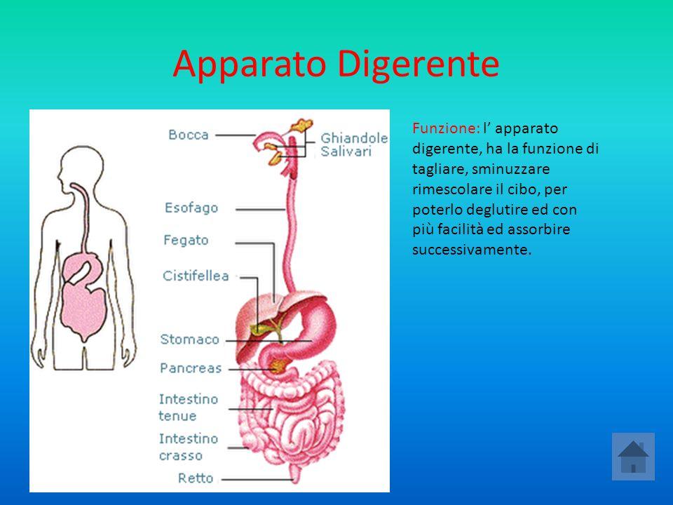 Gli organi annessi I denti Il fegato Il pancreas Le ghiandole salivari