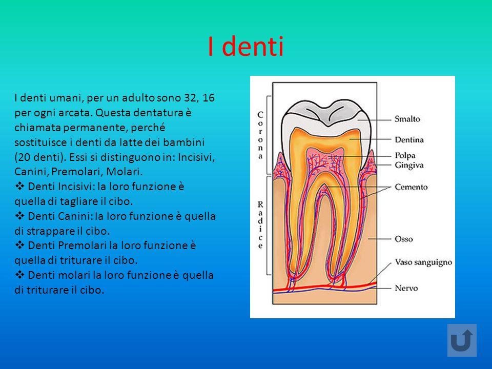 I denti I denti umani, per un adulto sono 32, 16 per ogni arcata. Questa dentatura è chiamata permanente, perché sostituisce i denti da latte dei bamb
