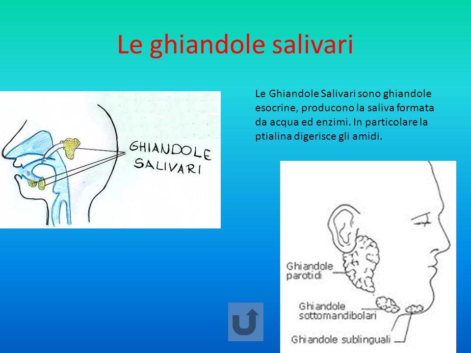Le ghiandole salivari Le Ghiandole Salivari sono ghiandole esocrine, producono la saliva formata da acqua ed enzimi. In particolare la ptialina digeri