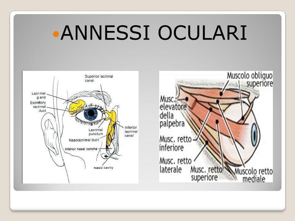 ANNESSI OCULARI