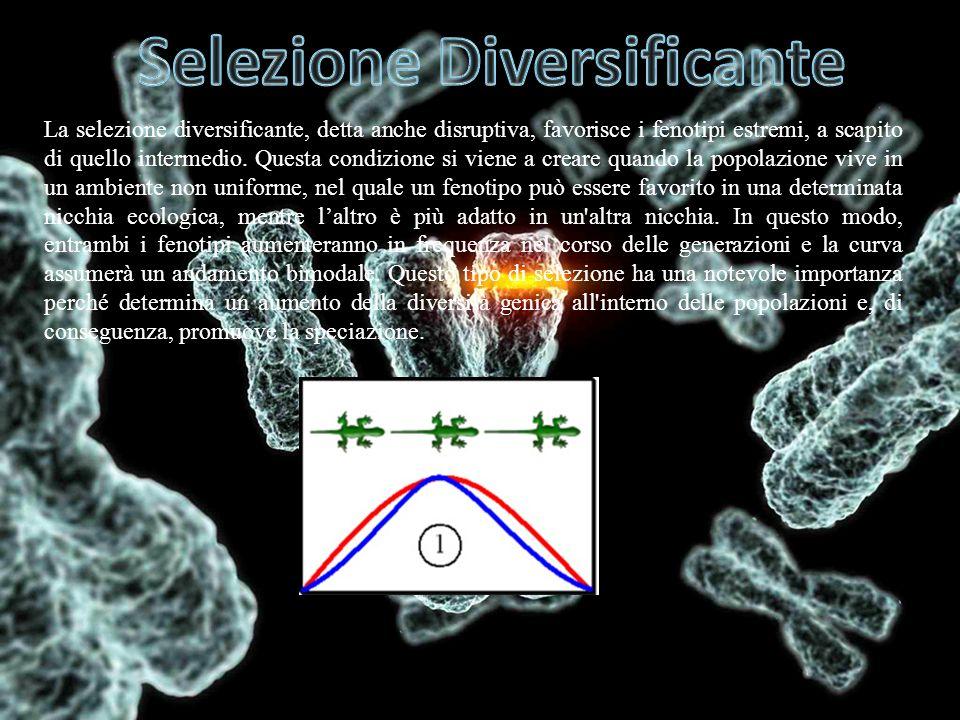 La selezione diversificante, detta anche disruptiva, favorisce i fenotipi estremi, a scapito di quello intermedio. Questa condizione si viene a creare