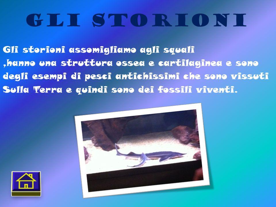 Gli Storioni Gli storioni assomigliamo agli squali,hanno una struttura ossea e cartilaginea e sono degli esempi di pesci antichissimi che sono vissuti Sulla Terra e quindi sono dei fossili viventi.