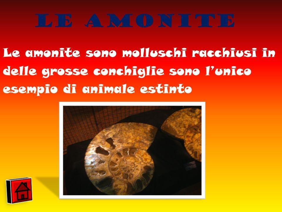 Le Amonite Le amonite sono molluschi racchiusi in delle grosse conchiglie sono lunico esempio di animale estinto