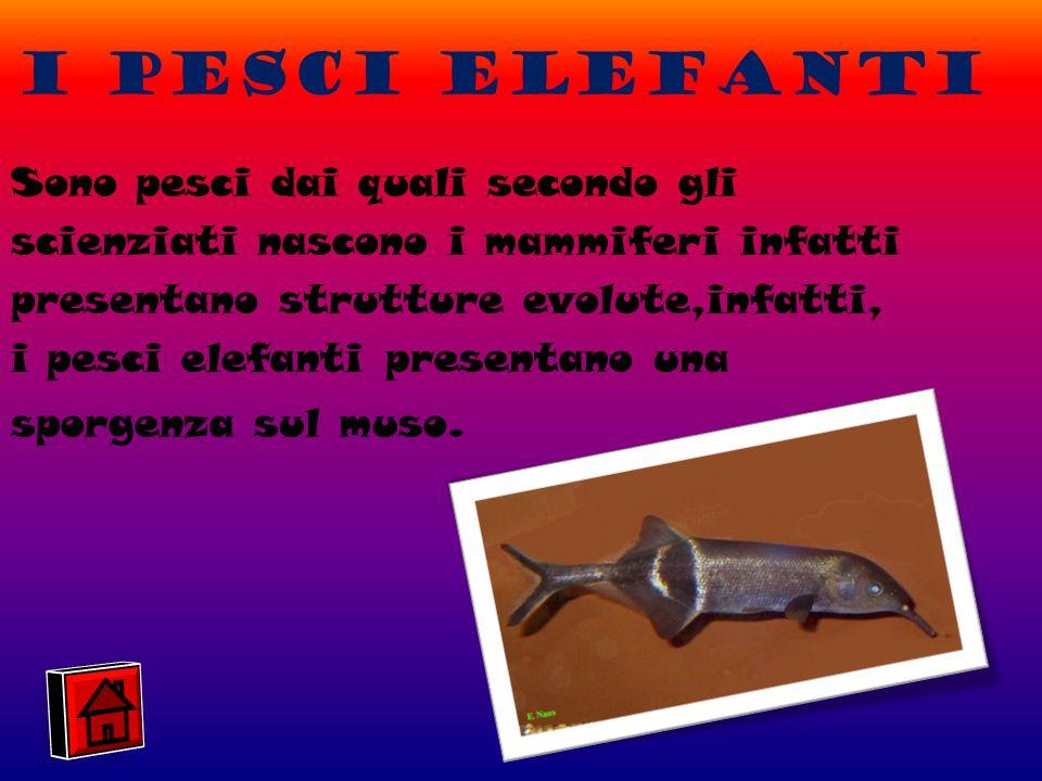 I pesci elefanti Sono pesci dai quali secondo gli scienziati nascono i mammiferi infatti presentano strutture evolute,infatti, i pesci elefanti presentano una sporgenza sul muso.