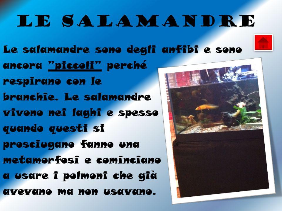 Le salamandre Le salamandre sono degli anfibi e sono ancora piccoli perché respirano con le branchie.