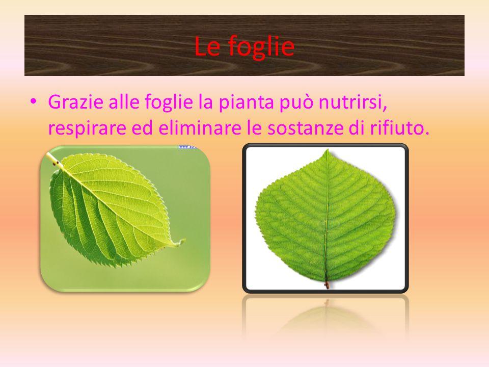 Le foglie Grazie alle foglie la pianta può nutrirsi, respirare ed eliminare le sostanze di rifiuto.
