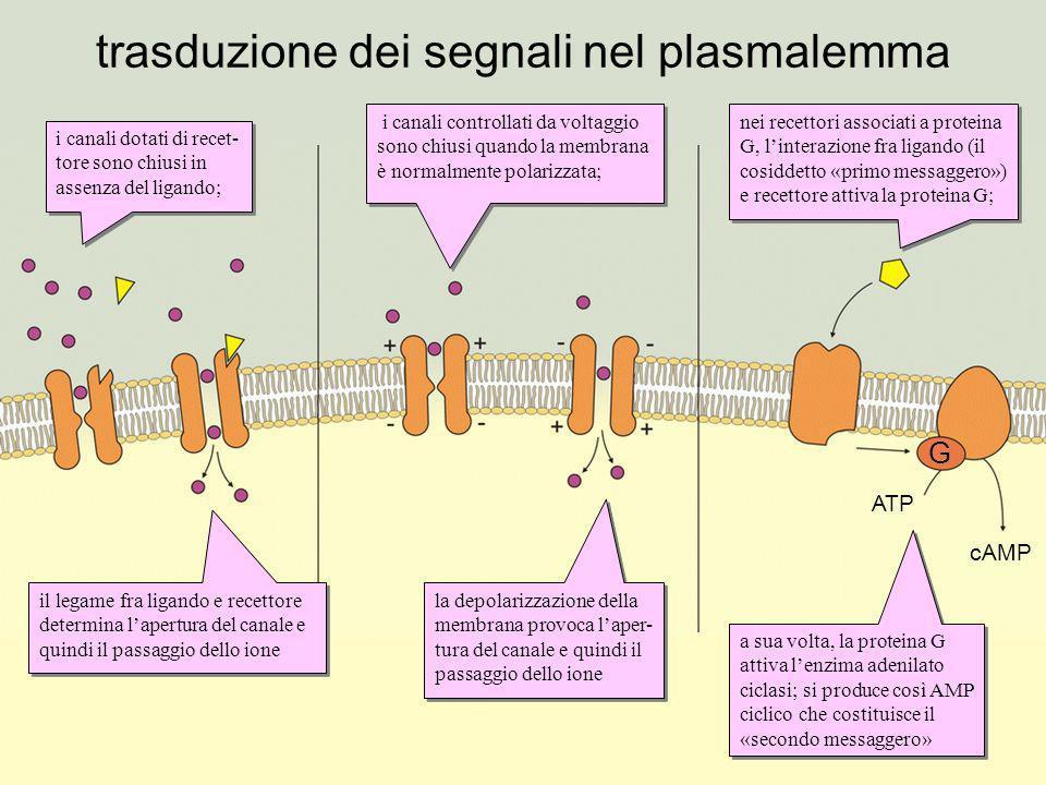 trasduzione dei segnali nel plasmalemma i canali dotati di recet- tore sono chiusi in assenza del ligando; il legame fra ligando e recettore determina