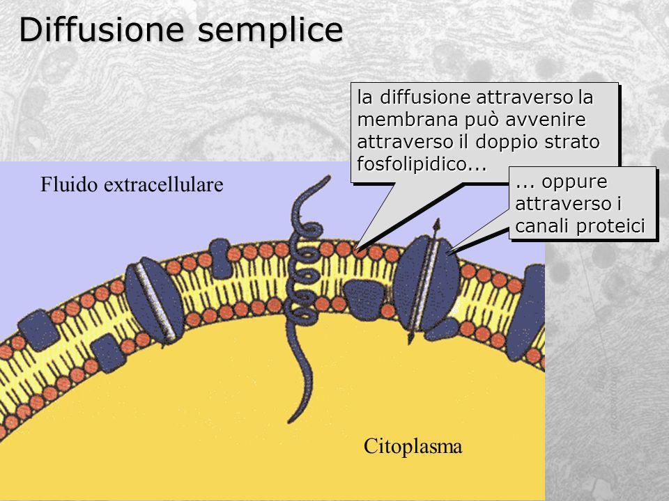 Diffusione semplice Citoplasma Fluido extracellulare la diffusione attraverso la membrana può avvenire attraverso il doppio strato fosfolipidico......