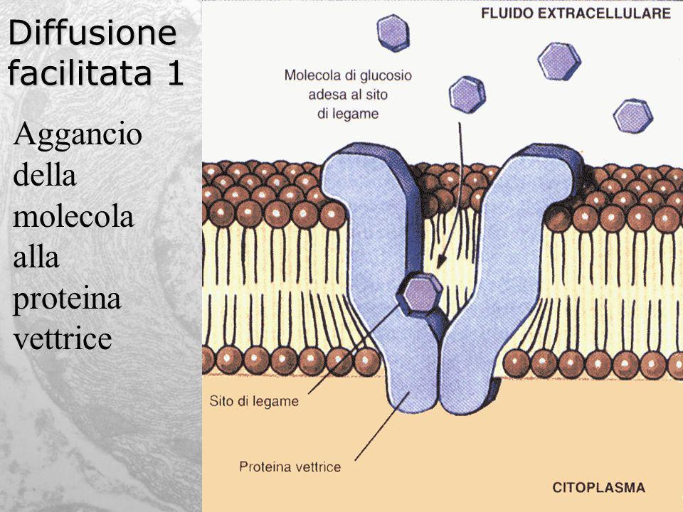 Diffusione facilitata 1 Aggancio della molecola alla proteina vettrice